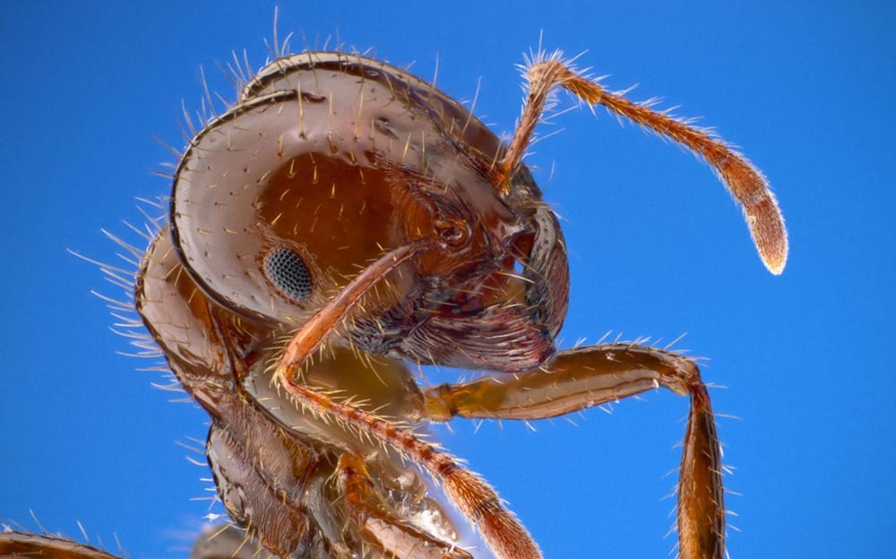Image of a Fire ant up close