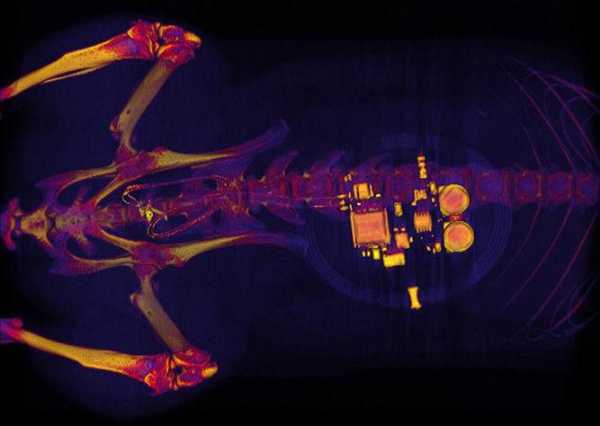 CT scan of a rat with a small implanted device.